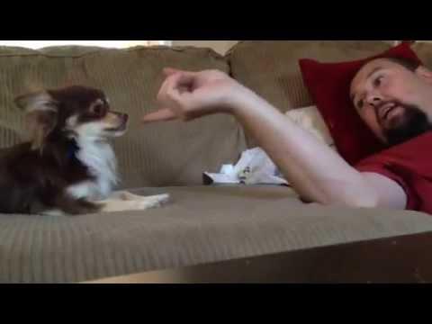 Funny bossy chihuahua