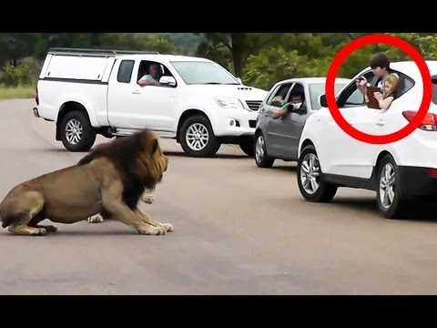 Shows - Tourists hanging out of their car at a lion sighting. This lion felt threatened and barked at the tourists. If he had decided to attack, there wouldn't have ...