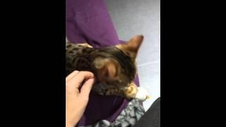 Vidéo d'un chat bengal qui ramène la balle, tel un chien