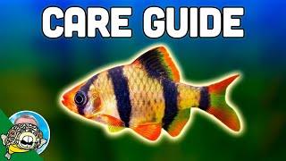 Tiger Barb Care Guide - Aquarium Co-Op by Aquarium Co-Op