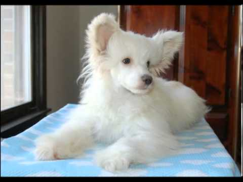 Chinese Crested Palomino puff