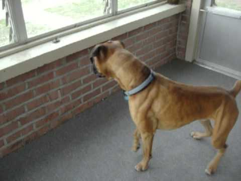 VIDEO: Tough Boxer Dog Is Scared Of An