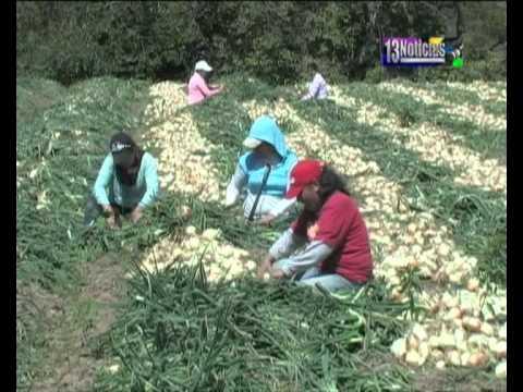 Reportaje de la cebolla Estudio 13 Chiquimula.wmv