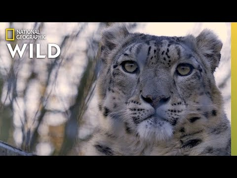 Conheça o Belíssimo e Esquivo  Leopardo do Himalaia