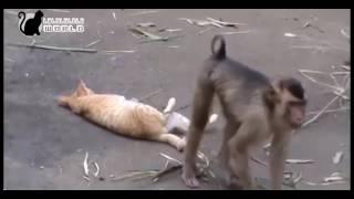 Video kucing VS monyet [Bikin Ngakak] MP3, 3GP, MP4, WEBM, AVI, FLV November 2018