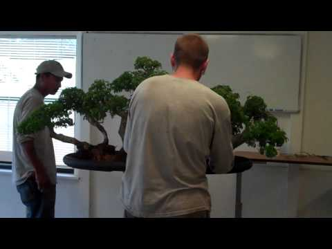 brazilian raintree - This forest is a tree currently in our personal bonsai collection. If you visit Wigert's Bonsai Nursery in N Ft mYers , FL you will see it on display. This s...