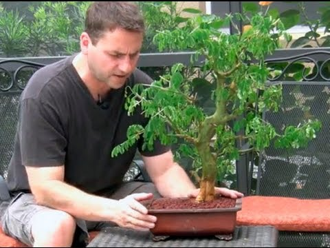 brazilian raintree - In this video I show the last transition of my Brazilian Raintree that I air layered last year. I show the steps to rake the roots, cut back roots and foliag...