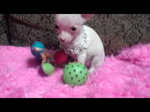 LOOKING FOR A MICRO WHITE TEACUP CHIHUAHUA ? HOUSTON TEXAS CHIHUAHUAS  IM AVAILABLE !