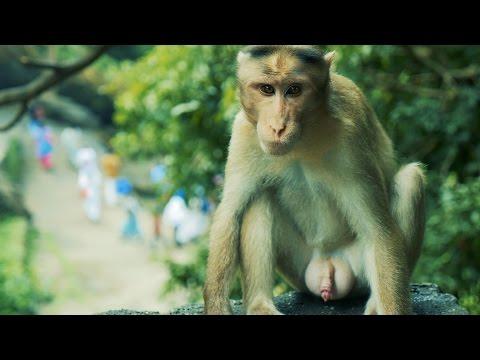 Video Indian Monkey HD Video. Bandar ka HD Video download in MP3, 3GP, MP4, WEBM, AVI, FLV January 2017