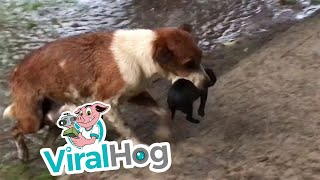 Mother Dog Carries Wet Puppies to Safety || ViralHog