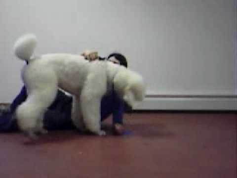 Charlie the 'DOGS 101' Poodle Shows Off (Spring '09) (видео)