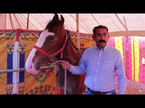 Video Ambod equine Festival 2015 Documentary download in MP3, 3GP, MP4, WEBM, AVI, FLV January 2017