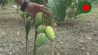 থাই কাটিমন-বারোমাসি আম-বাণিজ্যিক আম(ঝোপ পদ্ধতি)