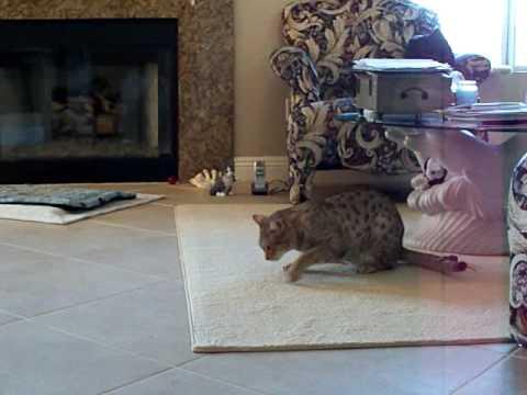 Cat having an asthma attack