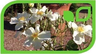 #956 Der wichtigste Tipp für Englische Rosen im Kübel