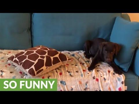 il-cucciolo-che-perde-la-battaglia-con-il-divano