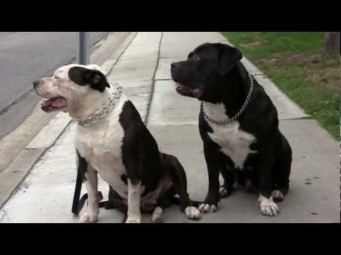 The All American Pit Bull Mastiff / Dog Training by David Warren, part 1