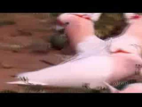 AUSTRALIA's WILD PARROTS & COCKATOOS – PBS SPECIAL – Part 1 of 2