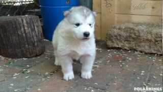 malamute Alaskan Malamute Puppies - 4 Weeks Old (short HD Movie)
