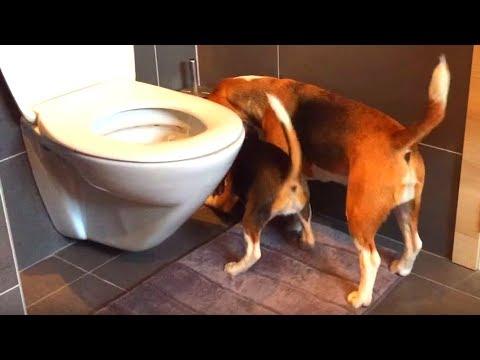 beagle aiuta la sorellina più piccola a rubare la carta igienica!