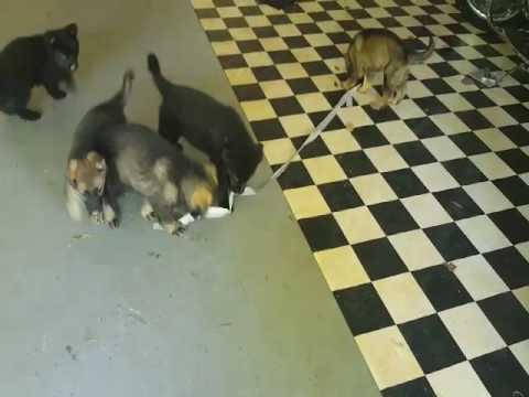 Puppies at play Memorial day morning
