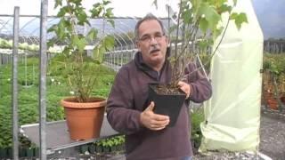 #264 Wie pflanzt man eine schwarze Johannisbeere
