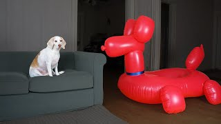 Dog vs Balloon Dog Prank: Funny Dogs Maymo, Penny & Potpie Have Fun with Giant Balloon Dog by Maymo