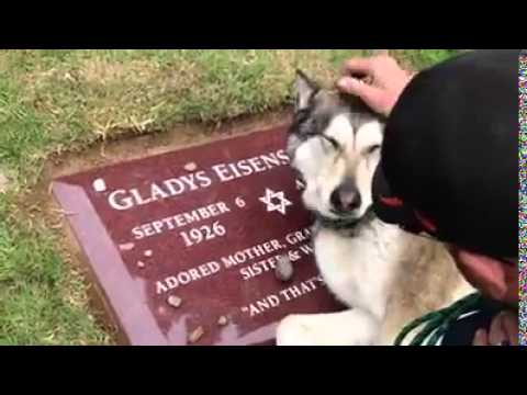 Dog Mourns At Grave (видео)