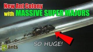 New Ant Colony: Massive Super Majors