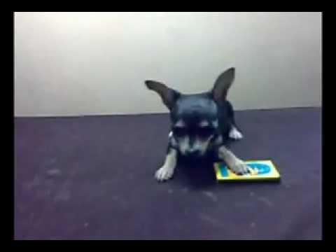 Teacup Chihuahua Barking – Very Crazy ! – Chihuahua ladrando & loco