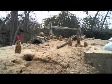 zootube - You asked for it, and here's what the prairie dogs are up to today at the Hattiesburg Zoo!
