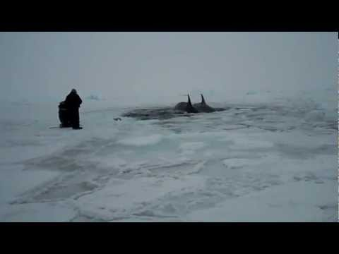 Inukjuak: Killer whales trapped by a small opening of water