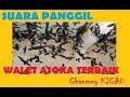 SUARA PANGGIL WALET ASOKA TERBAIK DI ALAM JAGAD RAYA   BEST VOICE CALL OF SWALLOW 2018