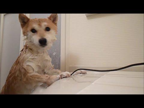 這隻柴犬打死都不肯洗澡,竟用「這一招」控訴主人惡行!結果踏出浴室的那一瞬間,柴柴竟然....