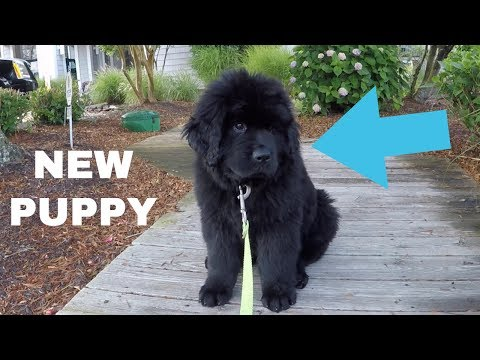We Got A Newfoundland Puppy! 8 Weeks Old