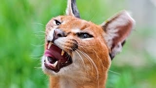 Animals Making Funny Sounds And Noises - Funny Animal Compilation.