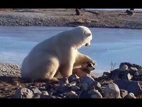 Medved mazi psa
