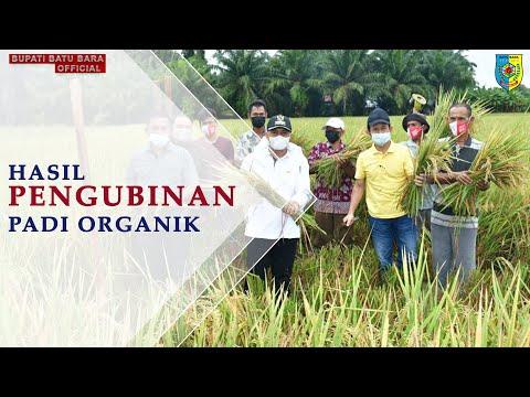 Pengubinan Padi Organik Hasil dari Pupuk NPK