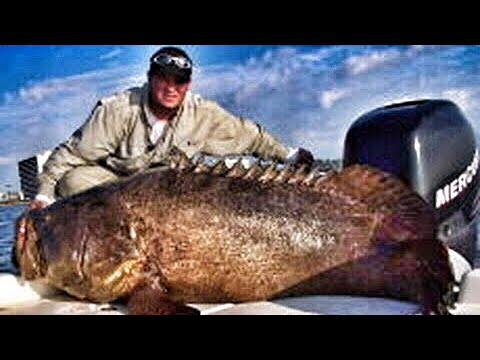 goliath - Most Viewed Viral Fishing Video! Book a Charter here http://chewonthis.tv/rates.html In this episode you will see a 500 pound Goliath Grouper landed that loo...