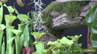 #1234 Chelsea 2013 - fleischfressende Pflanzen
