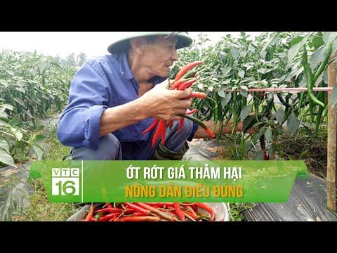 Ớt rớt giá thảm hại, nông dân điêu đứng | VTC16