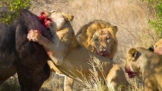 Video Lions Hunt Buffalo - Fascinating facts in the wild MP3, 3GP, MP4, WEBM, AVI, FLV Januari 2019