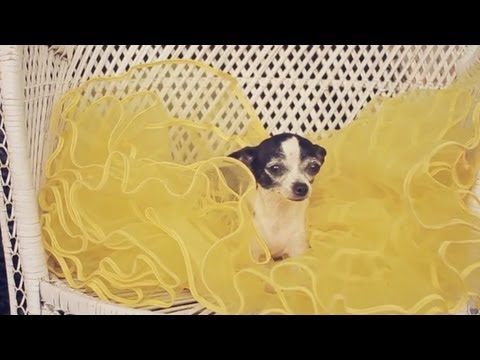Teacup Chihuahua Tries a Puffy Yellow Skirt    The Daily Puppy