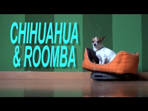 Nic and Pancho – Chihuahua and Roomba
