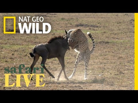 What Does It Take for a Cheetah to Hunt Wildebeest? | Nat Geo Wild