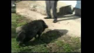 Criminal Profiler Pat Brown's pet pig gives NBC's Chris Gordon a bit of a surprise.-Visit Profiler Pat Brown's website at http://www.criminalprofilerpatbrown.com/ ...