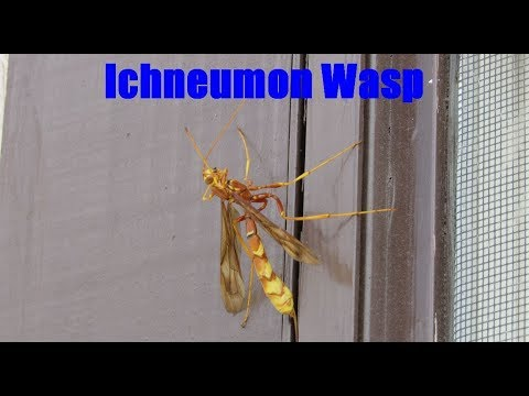 Ichneumon Wasp Facts and Footage - Ichneumonidae