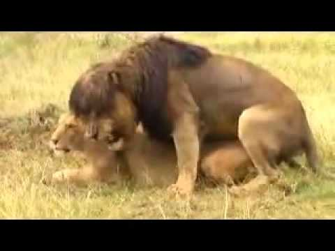 Videos apareamientos leones videos videos relacionados con videos apareamientos leones - Animales salvajes apareandose ...