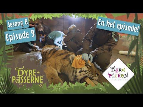 Tiger-krangel i Dyreparken | Dyrepasserne S8E9 | Dyreparken