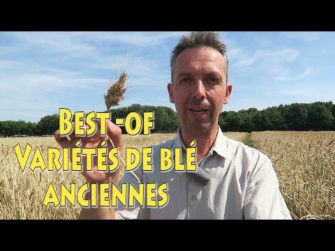 Best of variétés de blé anciens